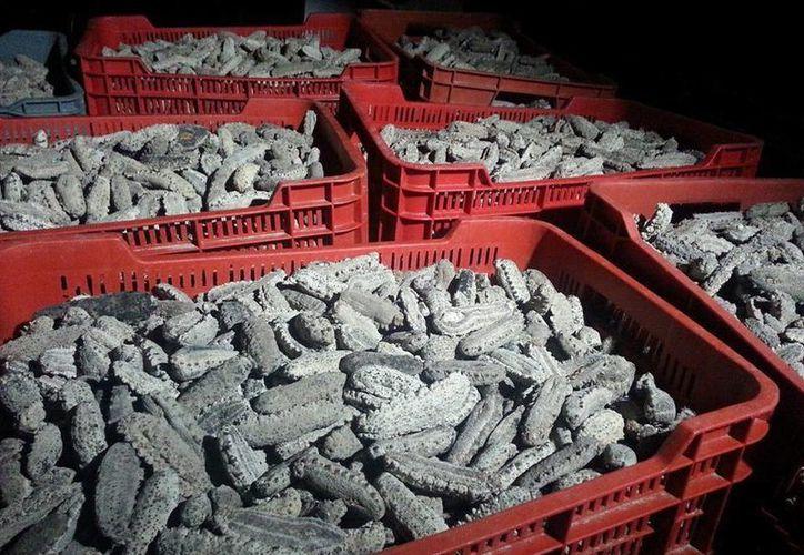 Fueron más de siete toneladas de pepino que fueron deshechadas en el mar. (SIPSE)