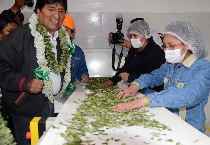 """Evo Morales durante un recorrido por la fábrica de """"bimates"""", hechos con hojas de coca y el edulcorante estevia. (EFE/Agencia Boliviana de Información)"""