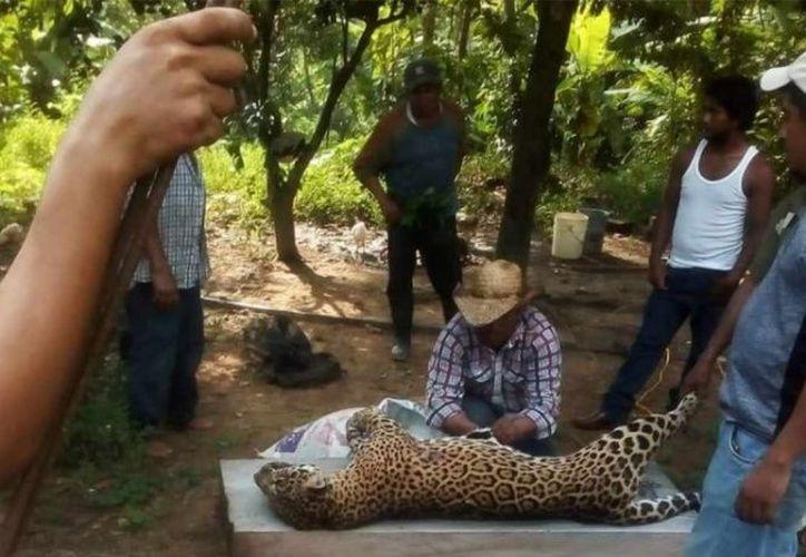 Un grupo de pobladores cazó a un jaguar en Veracruz y compartieron su 'hazaña' en redes sociales. (Twitter)