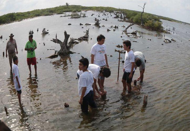 """La agrupación """"Jóvenes por la conservación"""" reforesta los manglares de Cozumel. (Gustavo Villegas/SIPSE)"""