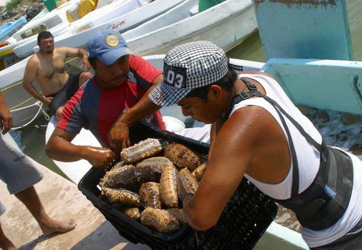 Igual que en la Península de Yucatán, a donde corresponde la foto, en el mar de Cortés también hay pesca ilegal de pepino de mar. (Archivo/Notimex)