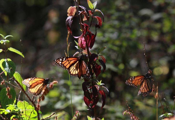 En México esta especie ha dado muchos beneficios económicos y sociales a las comunidades a donde llegan estos insectos. (Notimex)