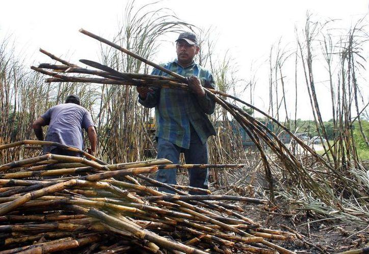 Productores y trabajadores esperan un rescate financiero de las autoridades federales. (Edgardo Rodríguez/SIPSE)