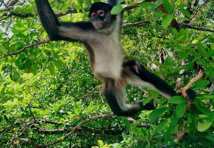 Estas especies tienen alimentación arborícola porque viven entre los árboles, y este factor los hace vulnerables. (Redacción/SIPSE)