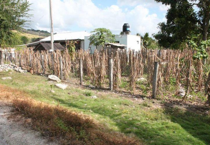 En el cultivo de sorgo, maíz y soya se requiere de tecnificación, ya que cada año se presentan problemas de sequía. (Juan Rodríguez/SIPSE)