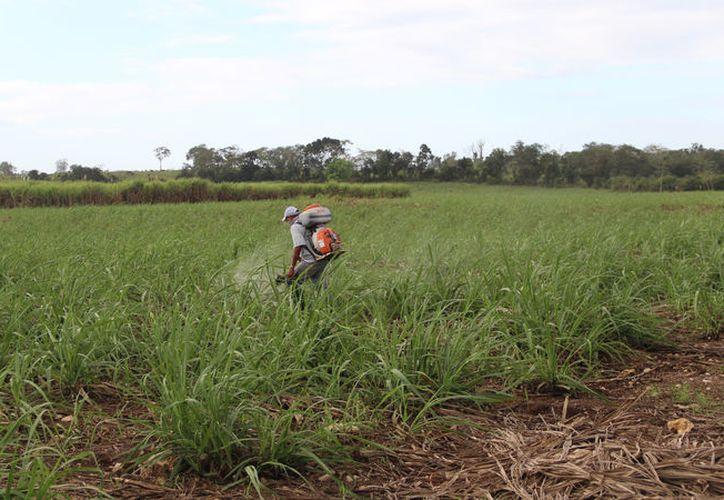 Con la fertilización de campos, decenas de jornaleros sufren problemas en la piel e intoxicaciones por los productos químicos. (Carlos Castillo/SIPSE)