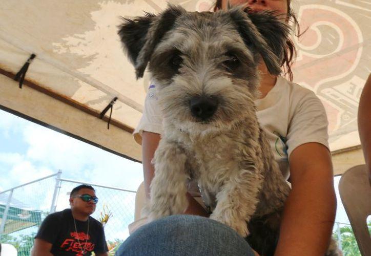 Lanzan veterinarios en Cozumel campaña para proteger a mascotas de parásito letal. (SIPSE)