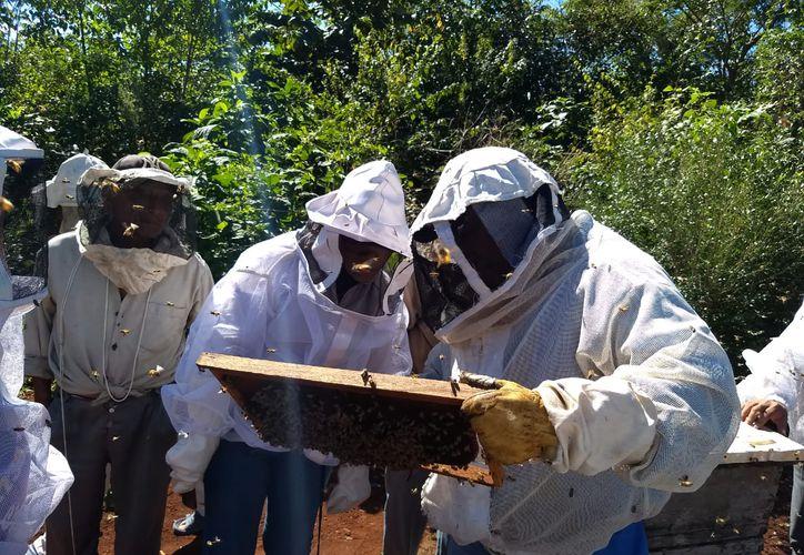 Más de 230 socios producen por temporada alrededor de 300 toneladas de miel, que deberían representar ingresos netos por 13.5 millones de pesos. (Jesús Caamal/SIPSE)