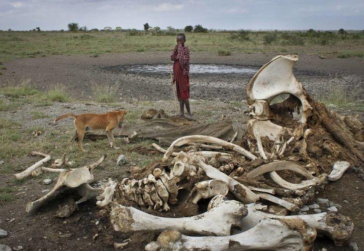 La cifra más alta de elefantes muertos se concentra en África Central; mientras que en Botswana la población del paquidermo va en aumento. (AP)