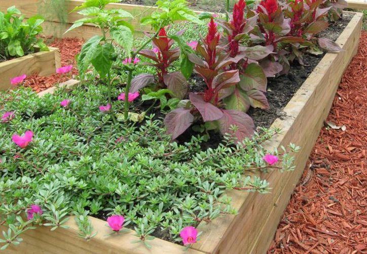Cultivar frutos en el patio del mismo hogar, es una garantía de sustentabilidad y ahorro para las personas. (Redacción/SIPSE)