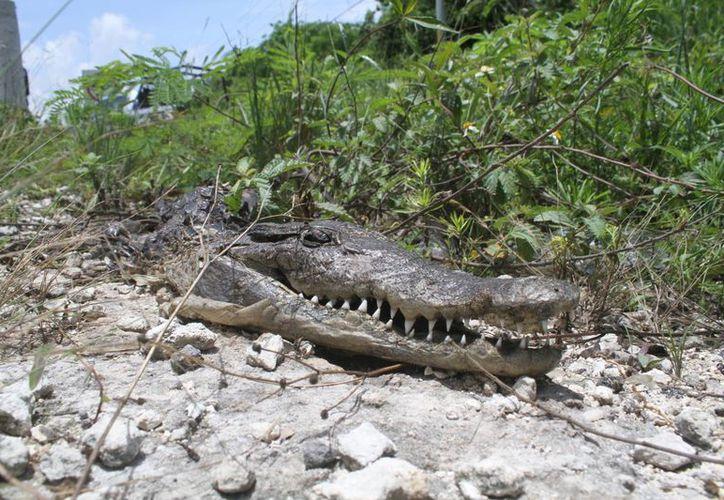 Dos cocodrilos fueron atropellados en menos de una semana; el de esta imagen fue hallado cerca del hotel Royalton. (Sergio Orozco/SIPSE)