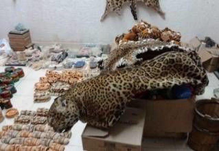 Cinco pieles de jaguar y una de un ocelote, exhibidas en un parador de turismo en Valladolid, fueron decomisadas por la Profepa. (Foto cortesía)