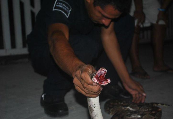 Una boa fue rescatada de morir atropellada en el bulevar Playa del Carmen. (Redacción/SIPSE)