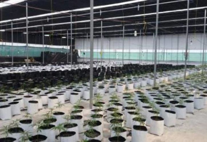 Imagen del predio acondicionado para el cultivo de marihuana en el municipio de Tlajomulco de Zúñiga, Jalisco. (@diario24horas)