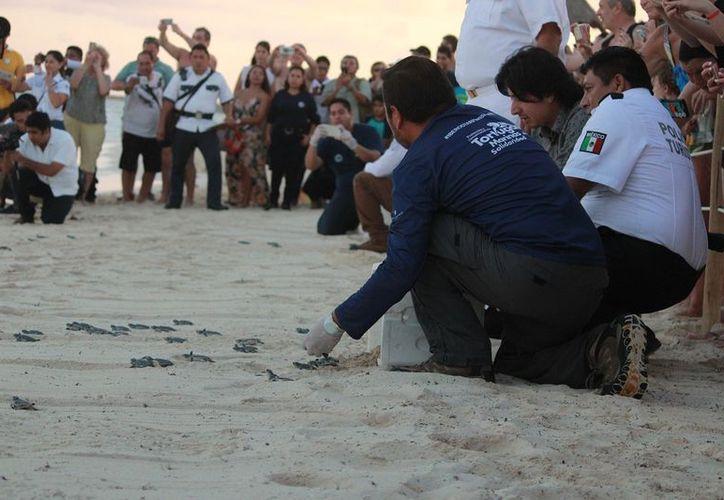 Con la liberación de 150 crías, el Comité de Protección y Conservación de la Tortuga Marina clausuró la temporada. (Octavio Martínez/SIPSE)