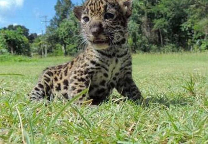 Un habitante de Calakmul, Campeche halló a dos cachorros de jaguar en un potrero, los cuales presentaban fuertes signos de deshidratación. (Excelsior)