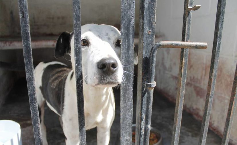 El dejar sin alimento a los animales por varios días es considerado maltrato animal. (Israel Leal/SIPSE)