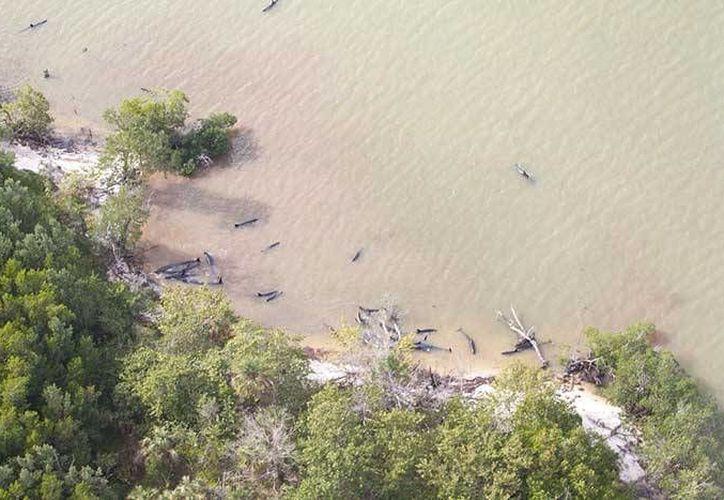 De los 81 cetáceos fallecidos, 72 murieron por causas desconocidas y otros nueve fueron sacrificados. (Excélsior)