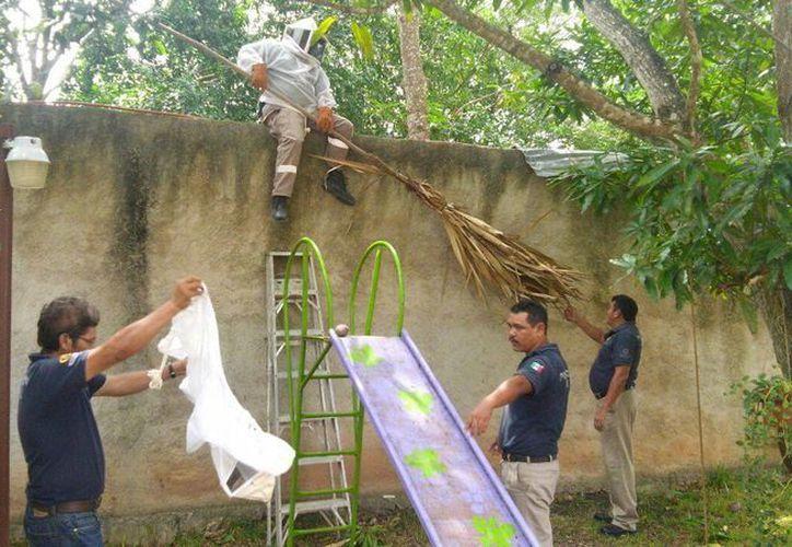 En el árbol donde se encontraba el panal estaba en medio de un área de juegos infantiles. (Manuel Salazar/SIPSE)