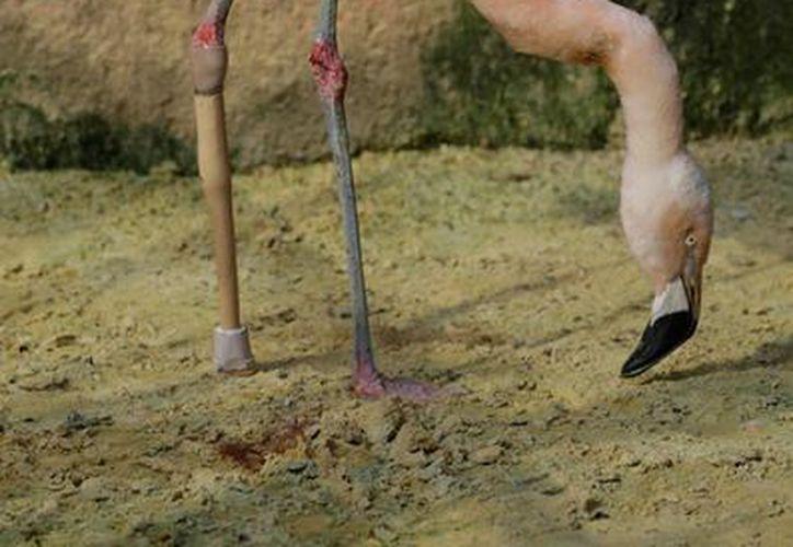 El flamenco rosado, de seis años de edad, se fracturó la pata izquierda hace un mes en el zoológico de Sorocaba en Brasil. (AP)