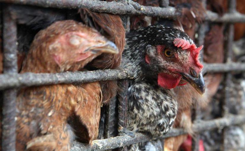 La última vez que hubo un brote de gripe aviar en Corea del Sur, tres millones de aves fueron sacrificadas. Esto ocurrió en 2011. (EFE/Foto de contexto)