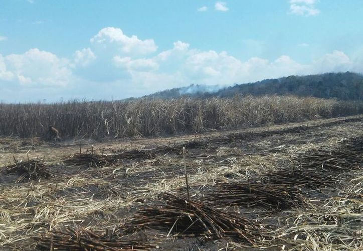 Cañeros esperan autorización para la expansión de siembra en sus parcelas. (Carlos Castillo/SIPSE)