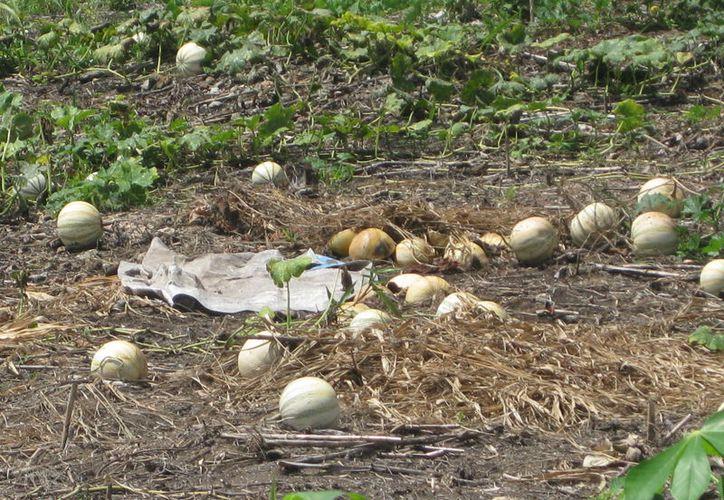 Los cultivos sufrieron pérdidas debido a las fuertes lluvias. (Javier Ortiz/SIPSE)