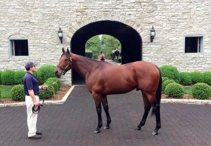 American Pharoah ya se prepara para el Derby de Kentucky, del cual es vigente campeón. (AP)