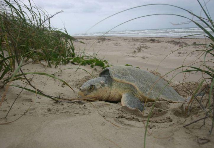 La mayoría de las muertes de tortuga caguama en Baja California Sur se debe a la pesca incidental. (Imagen de referencia/nps.gov)
