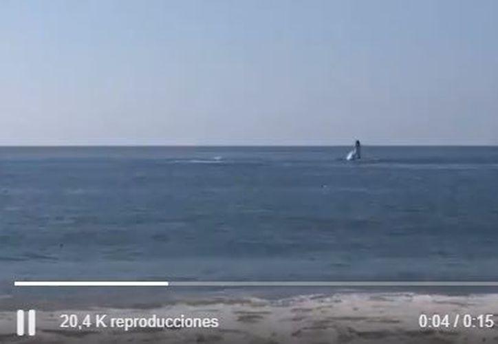 Las ballenas que fueron avistadas eran adultas, de gran peso y dieron un gran espectáculo. (Twitter/@webcamsdemexico)