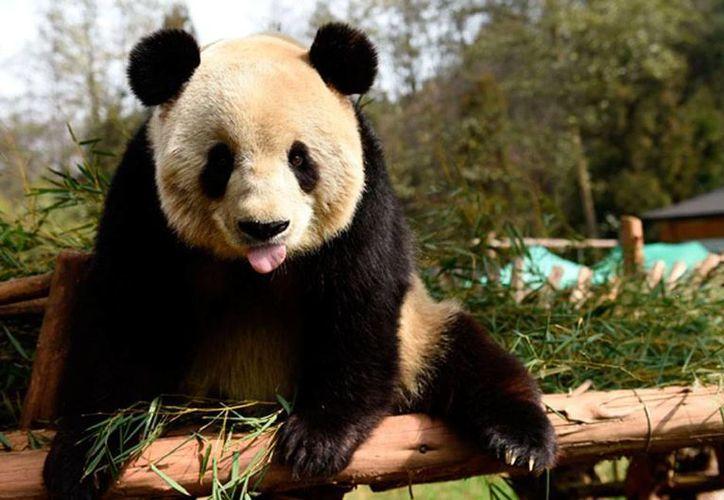 Una epidemia de moquillo infectó a nueve osos panda, de los que cinco ya fallecieron, en China. La imagen es únicamente ilustrativa. (NTX/Archivo)