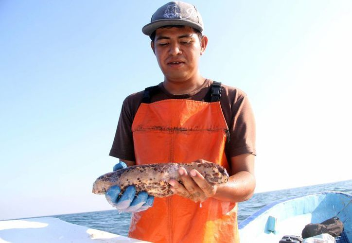Ahora los pescadores de Yucatán tienen que bucear a profundidades mayores para obtener pepino de mar. (José Acosta/SIPSE)