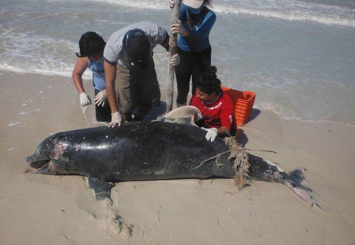 De acuerdo a la Profepa Yucatán, algunas personas interactuaron con los delfines y con el cachalote muertos en costas yucatecas, pero hasta ahora no se ha determinado que ello fuera la causa de su muerte, sino el clima extraordinario. (Milenio Novedades)