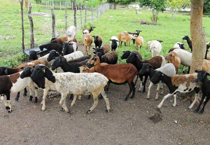 El precio de la carne de borrego en canal es de aproximadamente 80 y 90 pesos. (Edgardo Rodríguez/SIPSE)