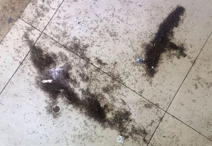 Estos insectos han estado ocasionando molestias por las pequeñas lluvias que han dejado los frentes fríos de las últimas semanas. (Foto: contexto/SIPSE)