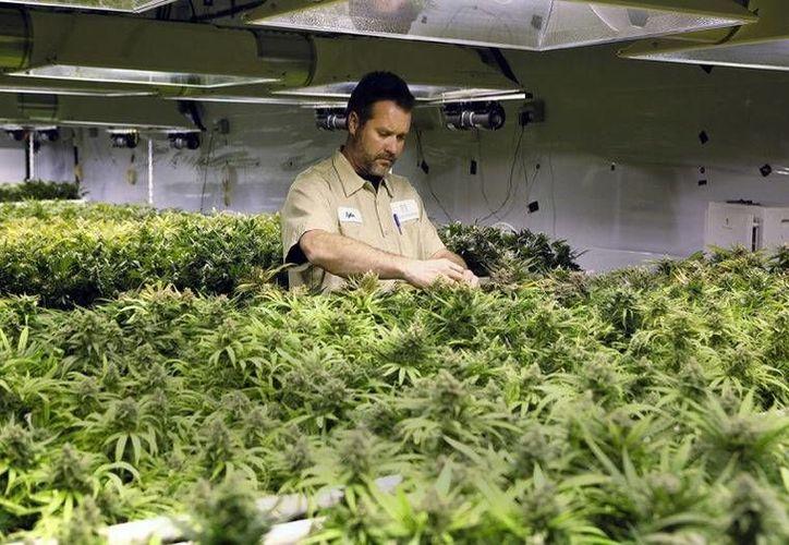 El Departamento de Salud de Florida autorizó a cinco viveros sembrar marihuana pero con un porcentaje de canabidiol, esto ayudaría a aliviar convulsiones provocadas por la epilepsia o dolores por cáncer avanzado, a pacientes de Estados Unidos. (Archivo AP)