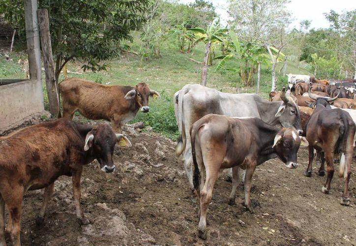 En la zona sur de Q. Roo hay un padrón de 130 productores, con ocho mil vacas lecheras y una producción diaria promedio de 20 mil litros. (Archivo/SIPSE)