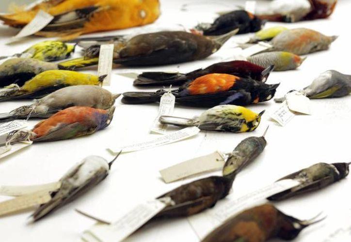 La apertura de nuevas zonas para la alimentación de ganado en montes y selvas, así como el crecimiento de las manchas urbanas y rurales, pone en riesgo las especies de aves en Yucatán. (SIPSE/Archivo)