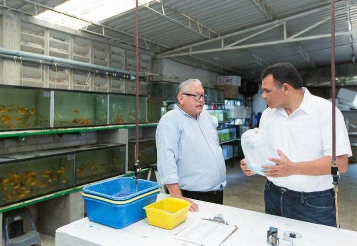 El gobernador de Yucatán, Rolando Zapata Bello, recorrió este domingo el Criadero de Peces y Plantas Acuática de Ornato 'Emmanuel'. (Cortesía)