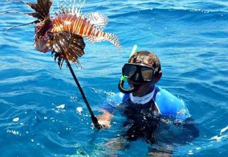 Es un pez que tiene la facultad de liberar entre tres mil y cinco mil huevecillos en su etapa reproductiva, es difícil erradicar la especie. (SIPSE)
