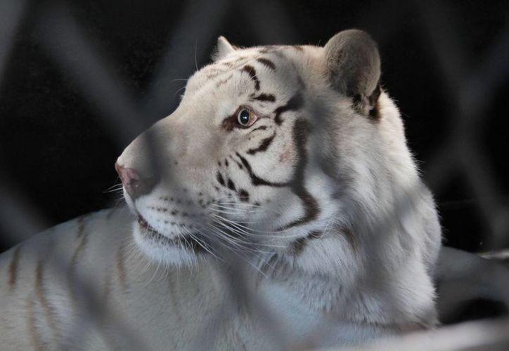 Los 11 felinos trasladados al santuario de Denver eran víctimas de maltrato y explotación. (Notimex)