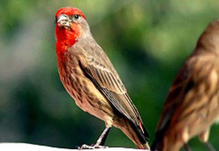 Por su melodioso canto, estas especies son capturadas y comercializadas ilícitamente. (Foto: Contexto/Internet)