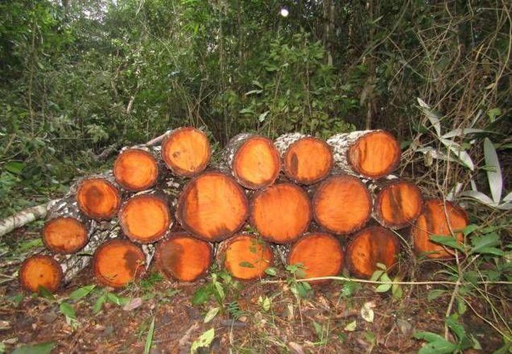 Se aseguró de manera precautoria 23 metros cúbicos de madera en rollo con corteza de caoba. (Redacción/SIPSE)