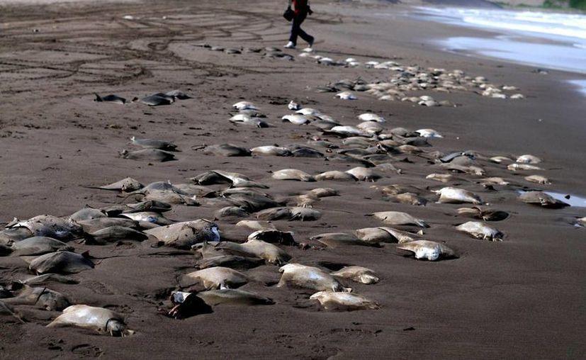 Cuando mueren, las rayas caen al fondo del mar, por lo cual se presume fueron abandonadas ahí intencionalmente. (Archivo/Agencias)