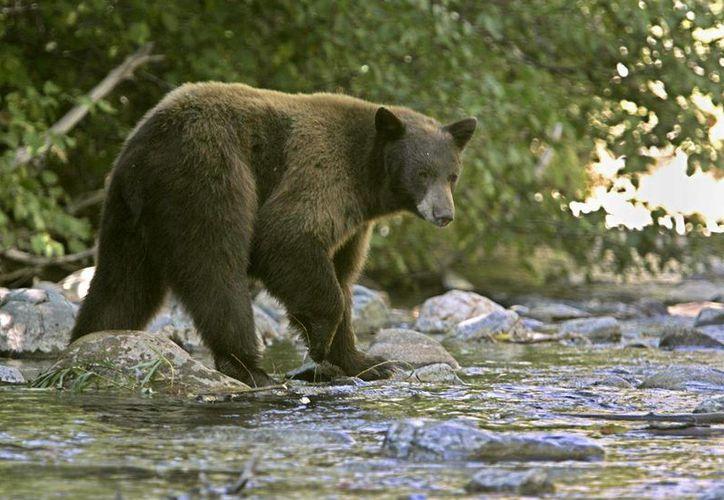 Una necropsia y reportes de toxicología confirmaron que los osos murieron de un ataque cardiaco causado por teobromina, un ingrediente tóxico que contiene el chocolate. (Archivo/Agencias)