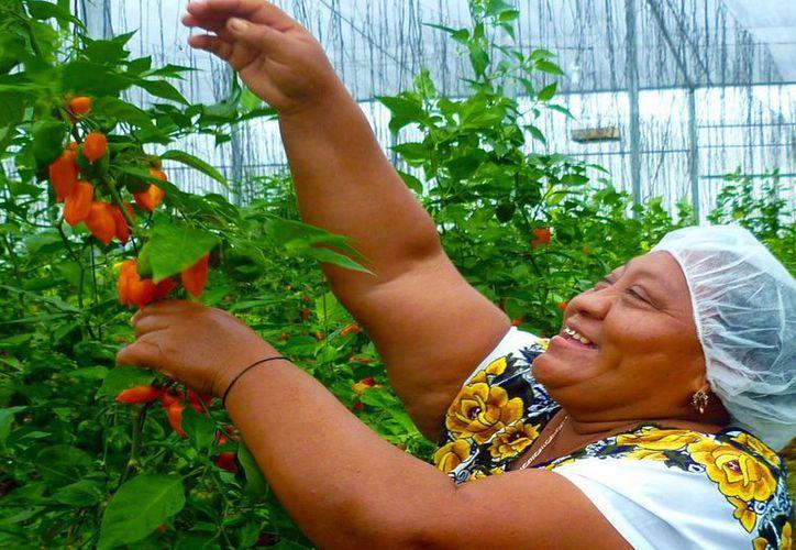 La empresa Ad Naturam trabaja 200 hectáreas ubicadas en el municipio de Muna. Imagen de una de las mujeres que laboran en el consorcio. (Milenio Novedades)