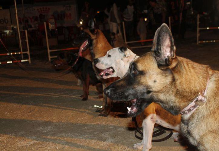"""Decenas de canes fueron llevados por sus dueños a la primera """"posada perruna"""" que se llevó a cabo en el campo de adiestramiento ubicado en  la avenida Kabah, esquina La Luna. (Jesús Tijerina/SIPSE)"""