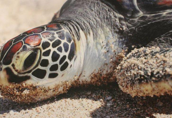 Las tortugas de la especie caguama y blanca sólo anidan en la parte este de la isla, y la carey anida en ambas costas. (Luis Soto/SIPSE)