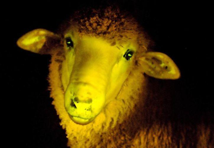Fotografía cedida por el Instituto de Reproducción Animal Uruguay donde aparece un cordero genéticamente modificado. (EFE)