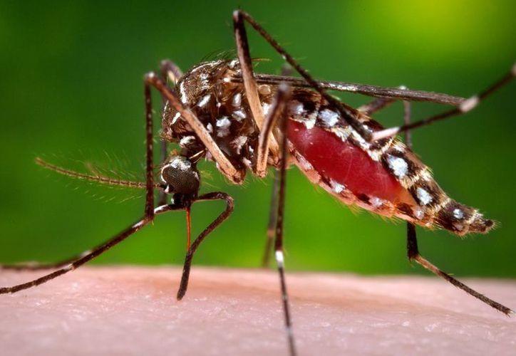 El virus del Zika causa preocupación especialmente en Brasil, país donde llegarán millones de turistas próximamente a los Juegos Olímpicos. En la imagen, el mosquito Aedes Aegypti, transmisor del virus. (AP)